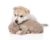 Chaton écossais et chiot de chien de traîneau sibérien jouant ensemble D'isolement Image libre de droits