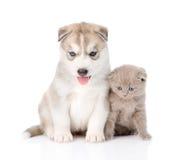 Chaton écossais et chiot de chien de traîneau sibérien se reposant ensemble D'isolement Images stock