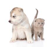 Chaton écossais et chiot de chien de traîneau sibérien se reposant ensemble D'isolement sur le blanc Photos stock