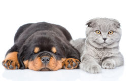 Chaton écossais et chiot de rottweiler de sommeil se trouvant ensemble Images stock