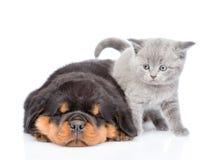 Chaton écossais et chiot de rottweiler de sommeil se trouvant ensemble Est Photo libre de droits