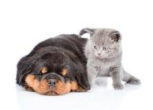Chaton écossais et chiot de rottweiler de sommeil se trouvant ensemble Est Images stock