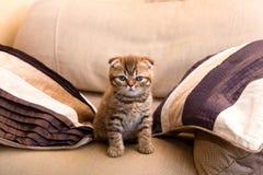 Chaton écossais se reposant sur une chaise entre deux oreillers Photographie stock libre de droits