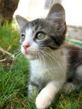 chaton Image libre de droits