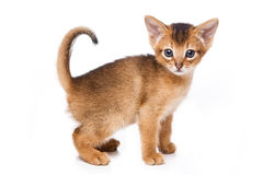 Chaton abyssinien Image stock