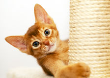 Chaton abyssinien Photo libre de droits