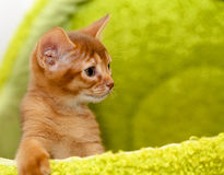Chaton abyssinien Photos stock