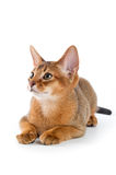 Chaton abyssinien Photo stock