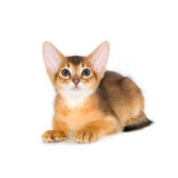 Chaton abyssinien Images stock