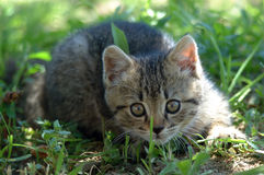 Chaton alerte Photo stock