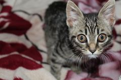 Chaton, animal familier, yeux, doux, petits image stock