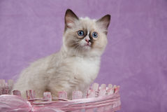 Chaton aux yeux bleus de Ragdoll se reposant dans le panier rose   Images stock