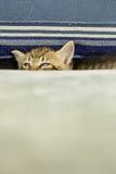 Chaton avec des rayures de tigre sur le divan bleu photo stock
