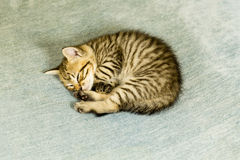 Chaton avec des rayures de tigre sur le divan bleu photos libres de droits