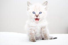 Chaton avec des yeux bleus Image stock