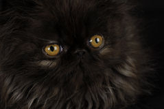 Chaton avec les yeux intenses Image stock