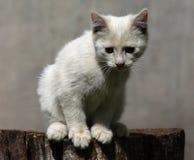 Chaton blanc Image stock