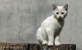 Chaton blanc Photo stock