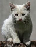 Chaton blanc Photo libre de droits