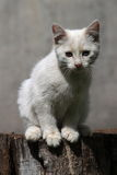 Chaton blanc Photos stock