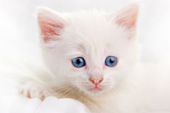 Chaton blanc adorable Photo libre de droits