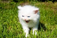 Chaton blanc dans l'herbe photos libres de droits