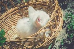 Chaton blanc dans le panier rétro Photos stock