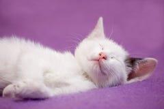 chaton blanc en sommeil Photo libre de droits