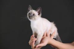 Chaton blanc et aux yeux bleus Photo stock