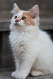 Chaton blanc et orange mignon Photos libres de droits