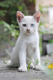 Chaton blanc parasite Photo stock