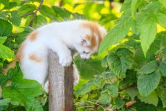 chaton Blanc-rouge sur un poteau en bois Photos stock