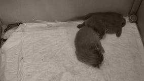 Chaton bleu des Anglais Shorthair dormant sur le plancher banque de vidéos