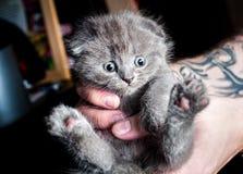 Chaton britannique dans des mains humaines Photo stock