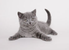 Chaton britannique de shorthair Photographie stock