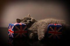 Chaton britannique de Shorthair Photos libres de droits