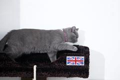 Chaton britannique de Shorthair Photo stock