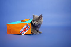 Chaton britannique de Shorthair Photo libre de droits