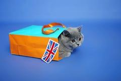 Chaton britannique de Shorthair Images stock
