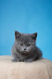 Chaton britannique de Shorthair Photos stock