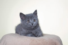 Chaton britannique de Shorthair Photo stock
