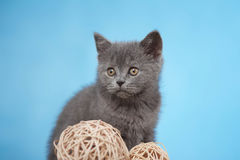 Chaton britannique de Shorthair Image stock