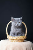 Chaton britannique de Shorthair Photographie stock libre de droits