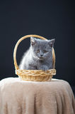Chaton britannique de Shorthair Images stock