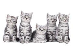 Chaton britannique des cheveux cinq courts photo libre de droits