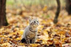 Chaton britannique en parc d'automne, feuilles tombées Images stock