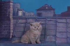 Chaton britannique jouant sur le toit d'une nuit d'été Photographie stock libre de droits