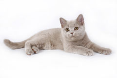 Chaton britannique lilas. Images stock