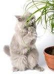 Chaton britannique mangeant la plante verte Photos libres de droits