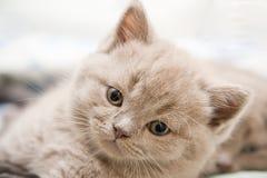 Chaton britannique mignon photographie stock